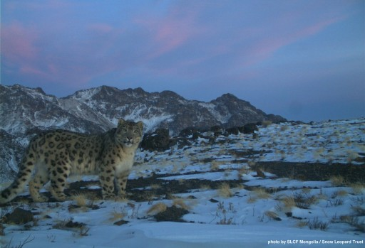 Mongolia to Create New Protected Area for Snow Leopards