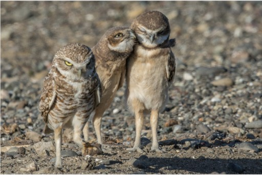 Burrowing Owl Preservation Society to Join California Raptor Center Annual Open House