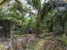 Indigenous palm oil farmer in Sarawak, Malaysia