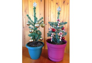 Tabletop Evergreen Trees from Nature Hills Nursery