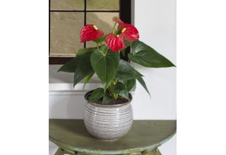 Anthurium 'Red' from Logees.com