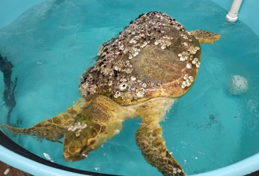 Mount Laurel Animal Hospital Provides CT Scan to 140-Pound Loggerhead Sea Turtle for New Jersey's Sea Turtle Recovery