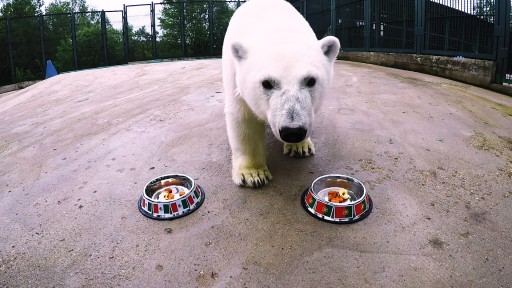 Nika the Football-Mad Polar Bear Predicts 2017 FIFA Confederations Cup Results