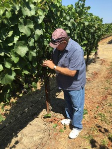 Dr. Gubler Examining Grape Vines