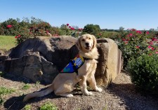 Jillian, a golden retriever Autism Service Dog