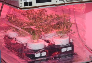 Six PONDS units in a Veggie device at the Kennedy Space Center