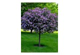 'Bloomerang' Purple Lilac Tree