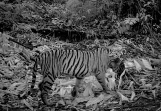 Malayan tiger in Royal Belum National Park