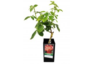 Fortuniana Grafted Rose