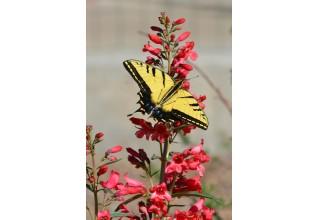 Swallowtail Butterfly on Penstemon