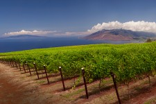 MauiWine Vineyard