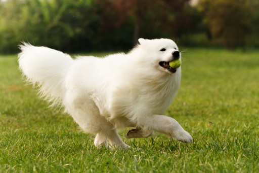Kabeara Kennels Breeds Samoyed Puppies in a Stress-Free Environment for Over Three Decades