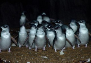 The penguins found in Tasmania are the smallest of the penguin species, the noisiest, and also the only penguins with blue and white feathers (all others are black and white)