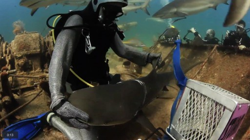 Shark Asks Divers For Help In the Bahamas