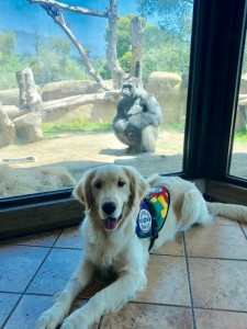 Norman, SDWR Autism Service Dog