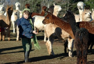 Alpacas at Marquam Hill Ranch in Oregon's Mt. Hood Territory