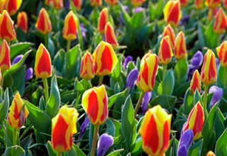 Red and Yellow Rock Garden Tulips