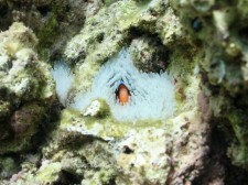 Clownfish in a Bleached Anemone