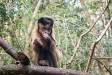 Celebrated monkey Patty the capuchin turns 37 years young!