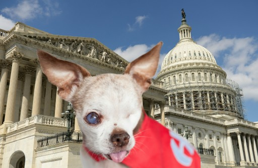 Tiny One-Eyed Chihuahua Speaks to Congress on Capitol Hill About the Puppy Mill Crisis