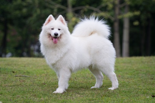 Kabeara Kennels Teresa Heaver Raises Customer Awareness on Samoyed Breed