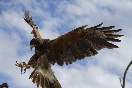 Popular Raptor Free Flight Presentations Begin October 17 at the Desert Museum