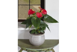 Anthurium 'Red' Holiday Plant from Logee's