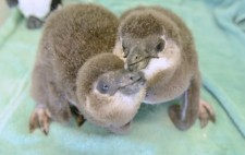 Baby Penguins Born!