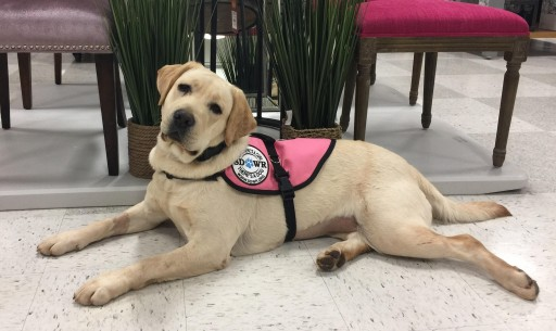 Service Dogs by Warren Retrievers Delivers Diabetic Alert Dog to Mystic CT Family