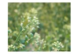 Camelina Plants in Bloom