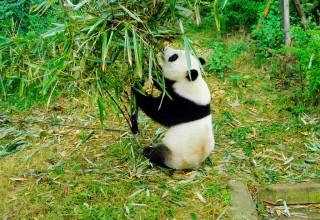 Volunteer as a panda caregiver in China