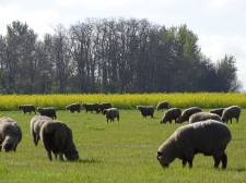 Integrating livestock grazing with crops