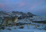 snow leopard in Tost