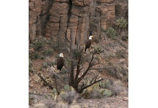 Raptors Along the Rails in the Verde Canyon