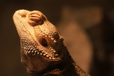 Basking Bearded Dragon
