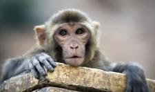 AGI Rhesus Macaque