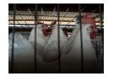 Nueva Investigación De La Organización Internacional Igualdad Animal Muestra en México Por Primera Vez Imágenes De La Cruel Industria Del Huevo