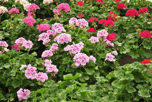 GardenSeedsMarket on Taking Care of Geraniums